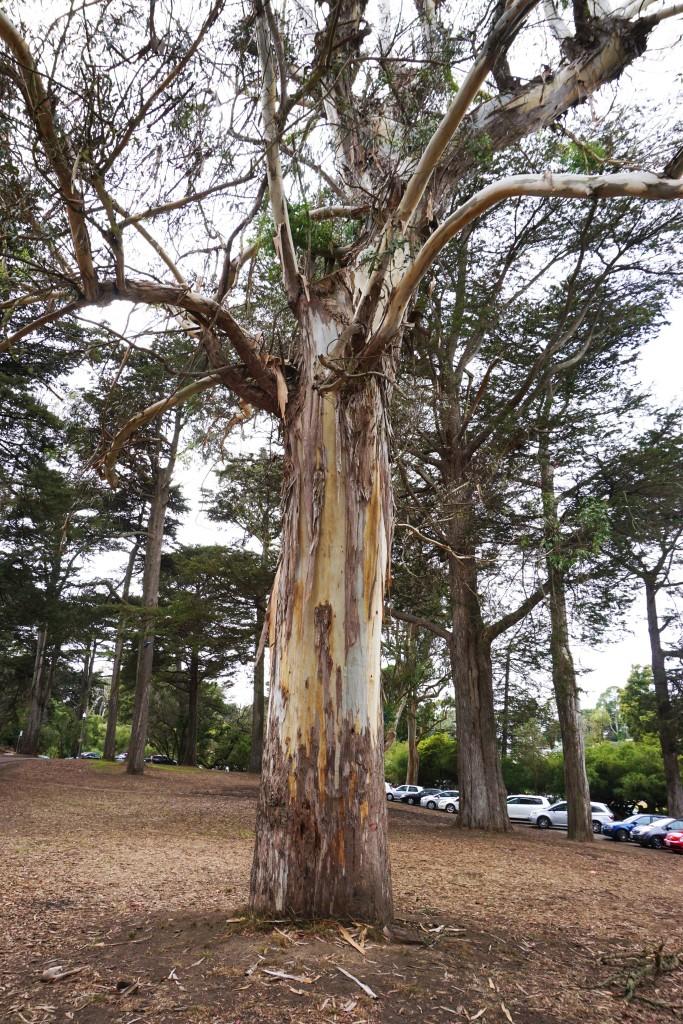 De rare kapotte bomen in het Golden Gate Park die aan het vervellen waren