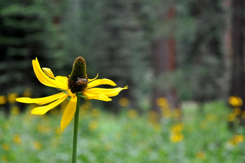 Bloemenveld bij de sequoia's met veel wespen